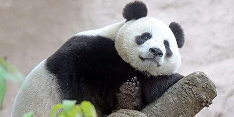 تدارک دوربین های با وضوح تصویر بالای هایک ویژن برای مشاهده پانداها در باغ وحش مسکو